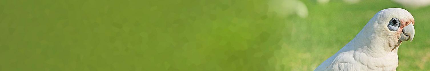 Corellas webpage banner